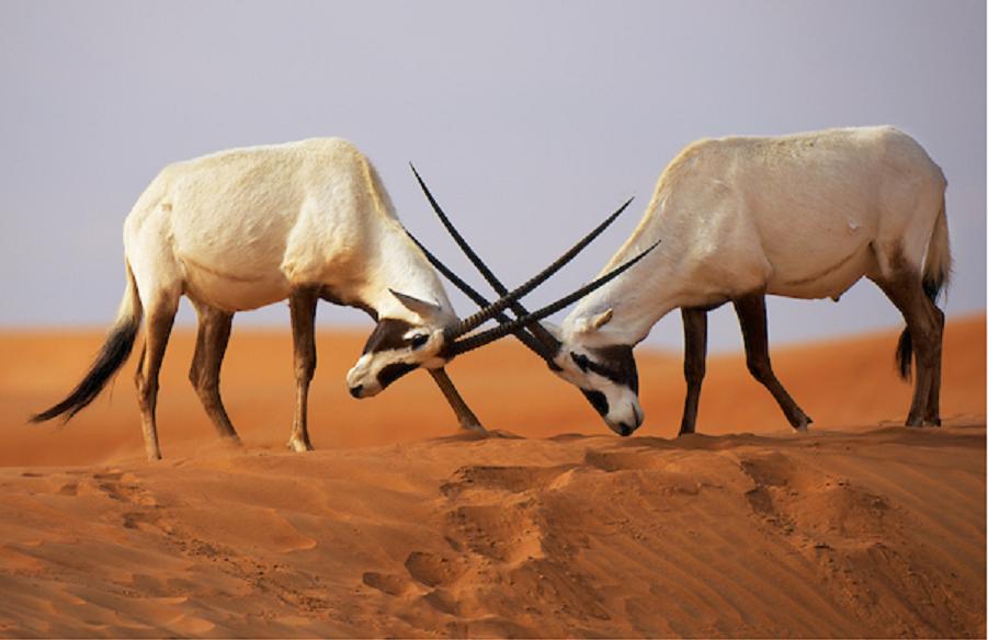Arabian Oryx, Oryx leucoryx