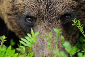 Eurasian Brown Bear, Ursus arctos, Finland