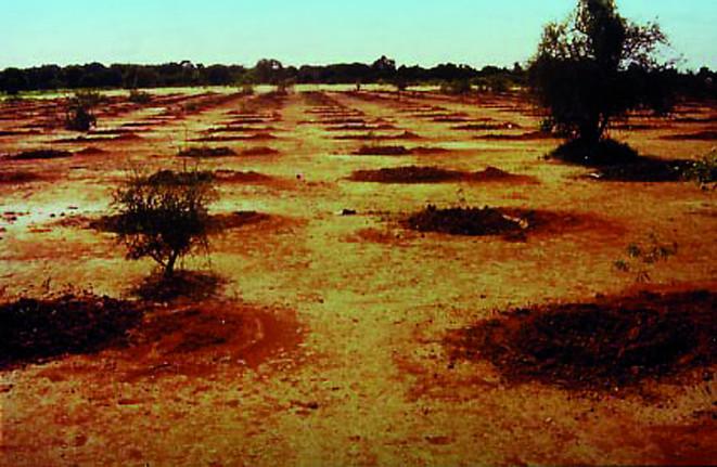 Arbole, Burkina Faso (1988): Native trees planted with TerraCottem just before the rainy season